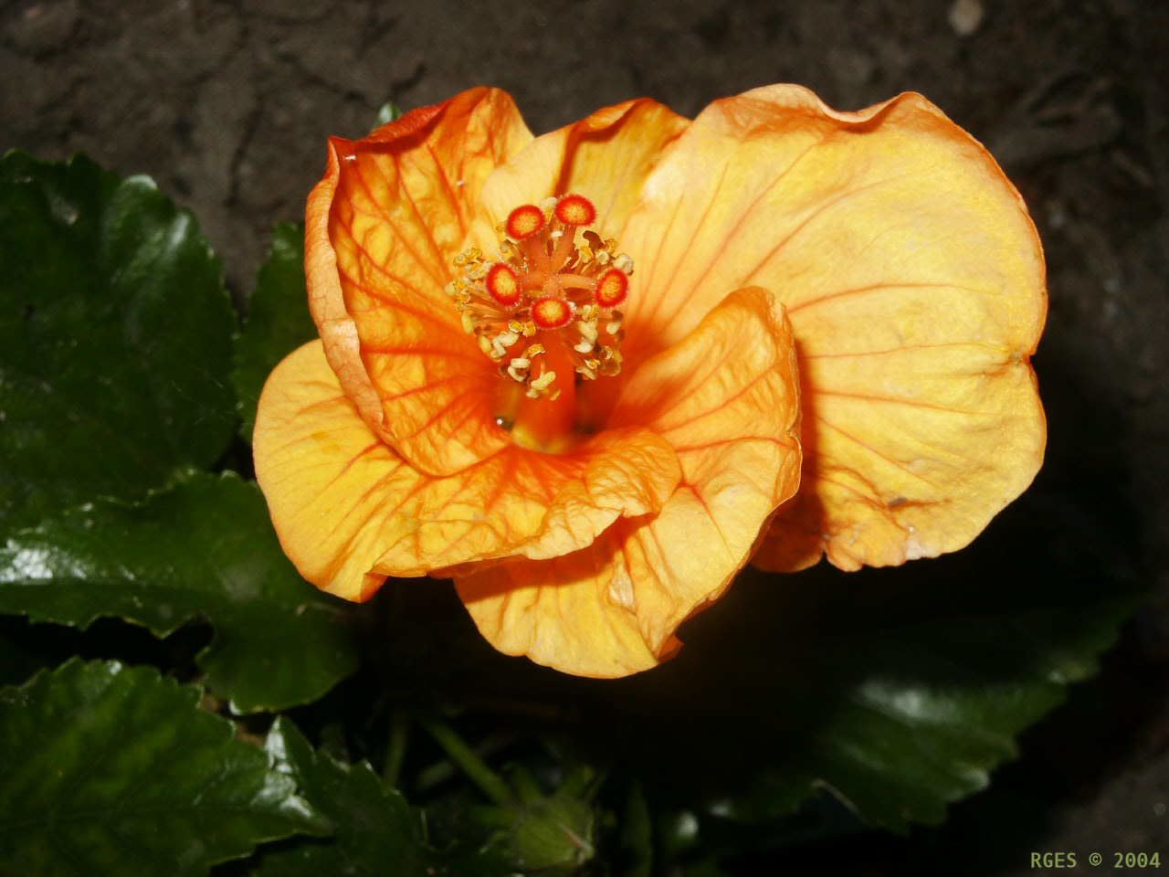 Orange Hibiscus flower [NL 2004] © RGES